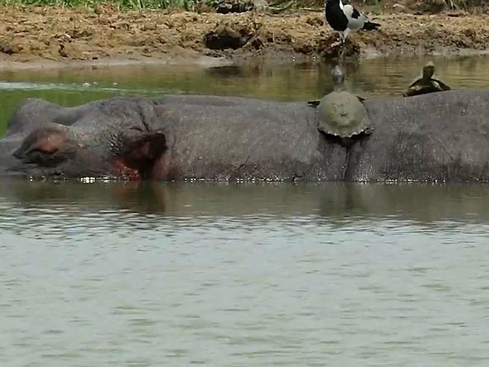 Des cistudes prennent le soleil sur le dos d'hippopotames