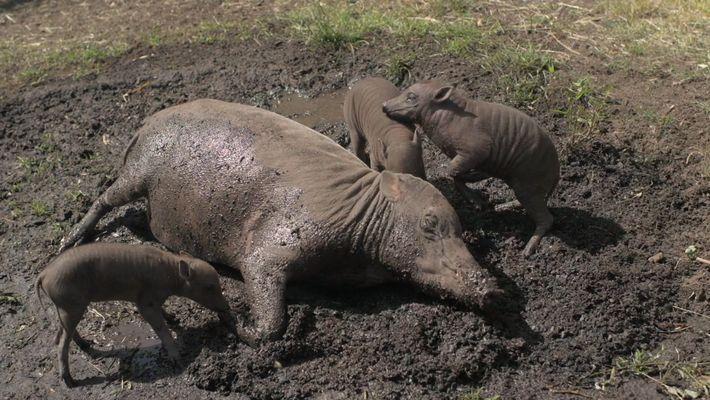 Rare : Un babiroussa donne naissance à des triplets