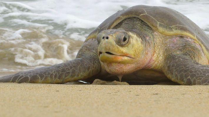 300 spécimens de tortues en voie de disparition retrouvés morts