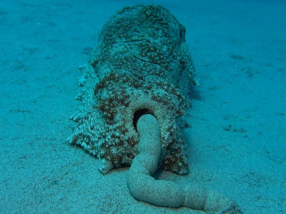 Les excréments des concombres de mer sont bons pour l'écosystème