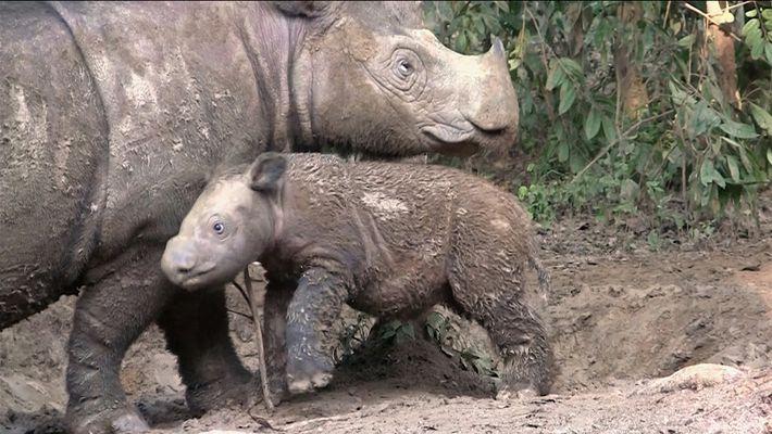 Les rhinocéros de Sumatra, une espèce quasi éteinte