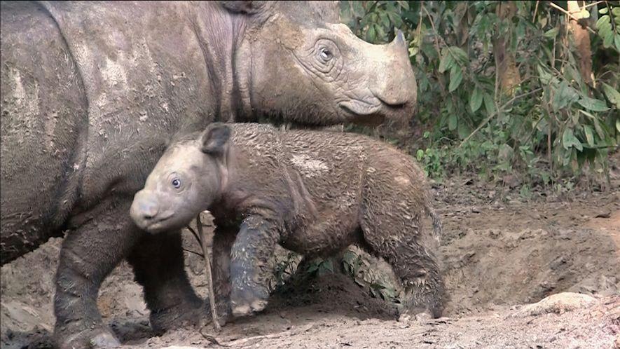 Les rhinocéros de Sumatra sont pratiquement éteints
