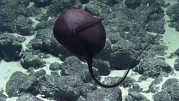 Découvrez une des créatures les plus étranges des profondeurs.