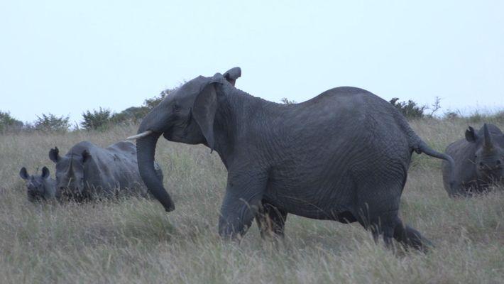 Affrontement entre des lions, des rhinocéros et des éléphants.