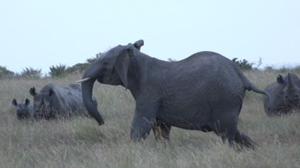 Affrontement entre des lions, des rhinocéros et des éléphants