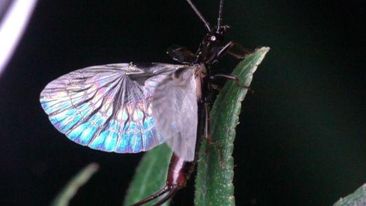 Les ailes du perce-oreille sont une prouesse de la nature