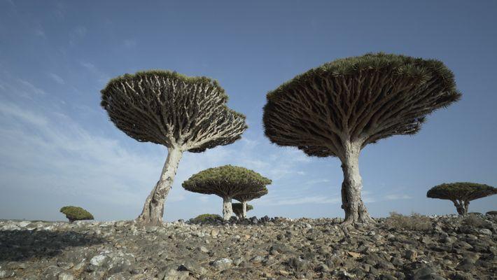 L'impressionant et rare Dragonnier de Socotra en danger
