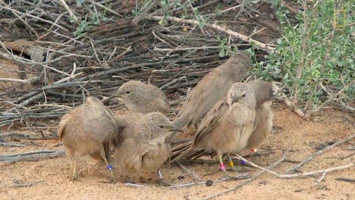 Ces oiseaux se cachent pour avoir des relations sexuelles
