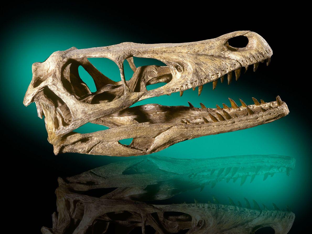 Ce crâne de Velociraptor mongoliensis provient des formations du Crétacé supérieur du désert de Gobi en ...