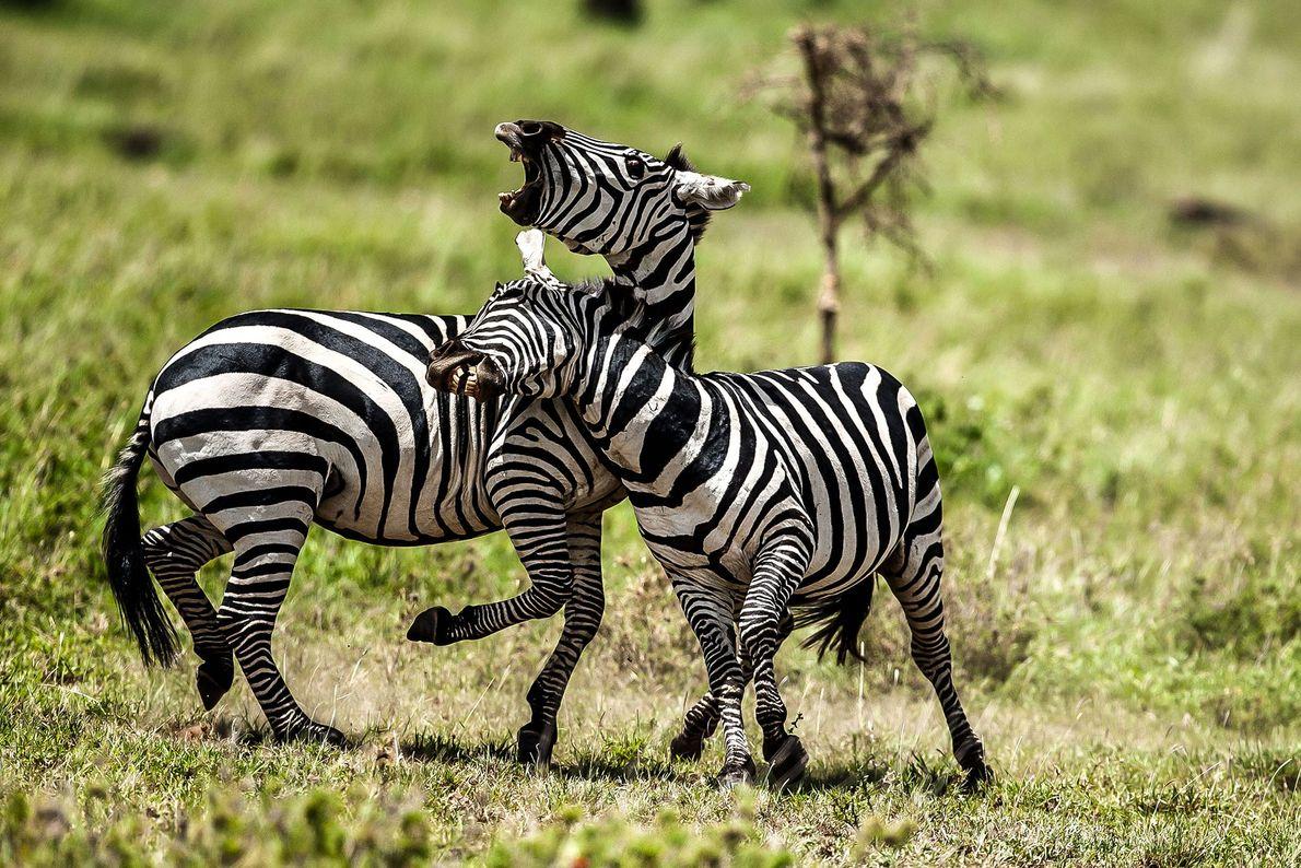 Duel de zèbres au soleil en Tanzanie.