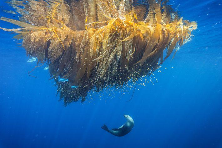 À Cortes Bank, un mont sous-marin situé au large de San Diego, une otarie de Californie ...