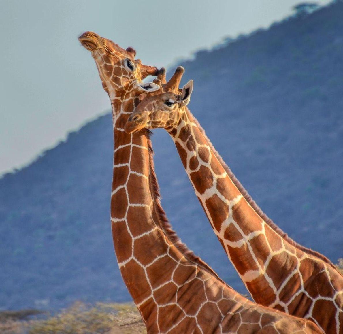 Deux girafes, réserve nationale du Masai Mara, Kenya.