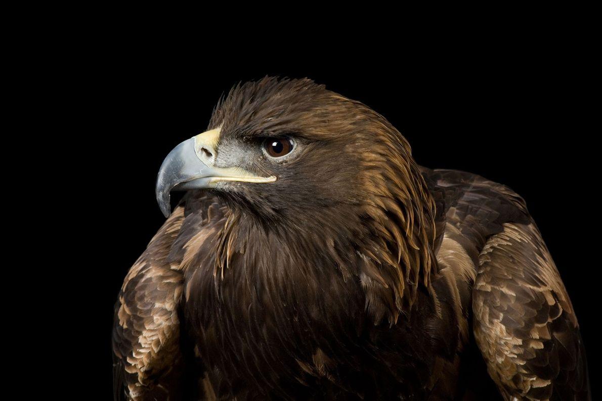 Un aigle royal, Aquila chrysaetos, photographié à Lincoln, dans le Nebraska. Ces oiseaux sont extrêmement rapides ...