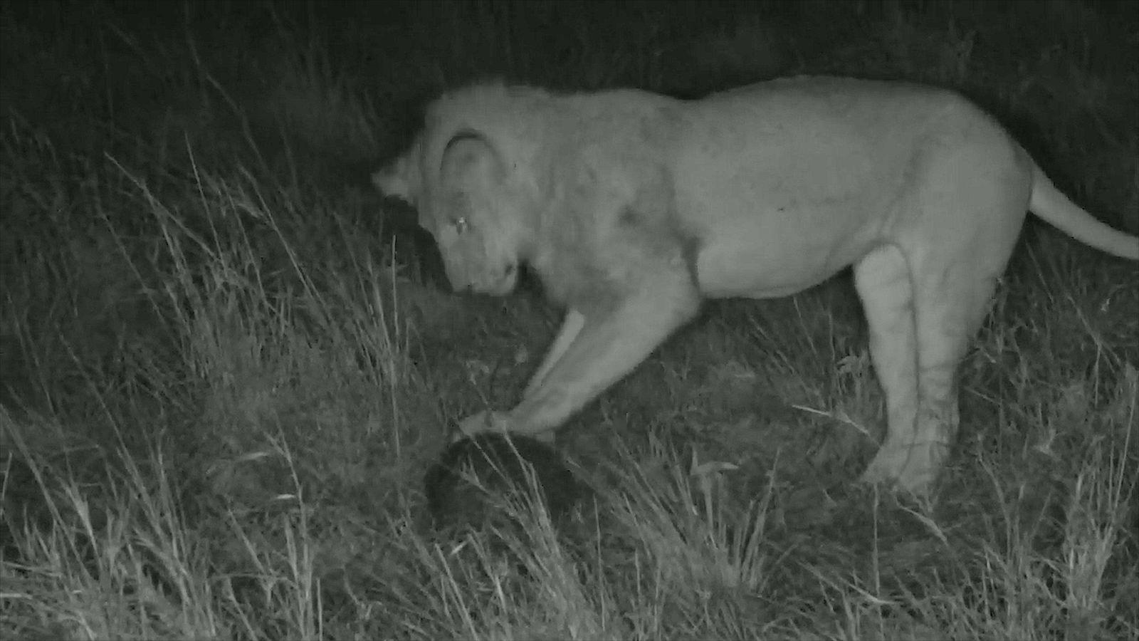 Rare : un lion tente d'attaquer un pangolin