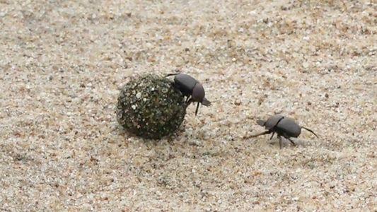 Ces scarabées bousiers se battent pour une boule de fumier
