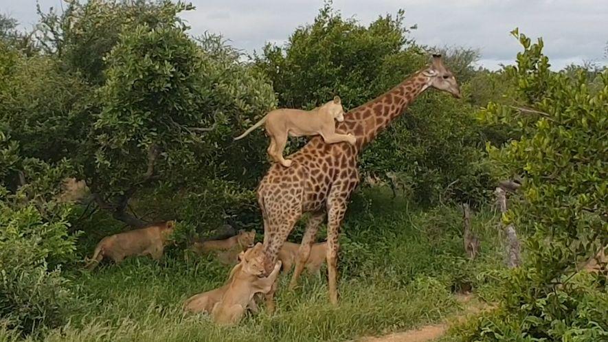 Rare : Un clan de lions traque une girafe