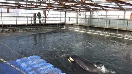 """Le temps presse pour les orques et bélugas retenus dans cette """"prison de glace"""""""