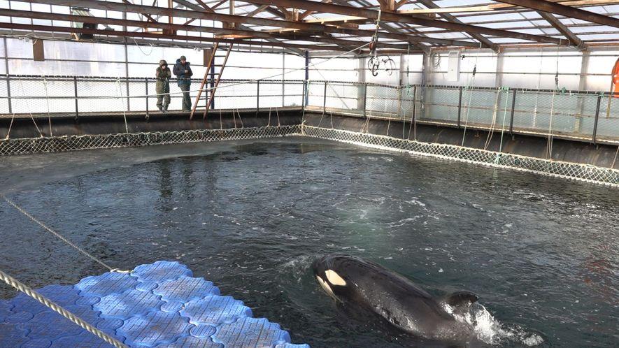 Près de 100 orques et belugas risquent de mourir de froid en captivité
