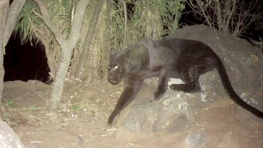 Cette vidéo confirme l'existence de rares léopards noirs au Kenya