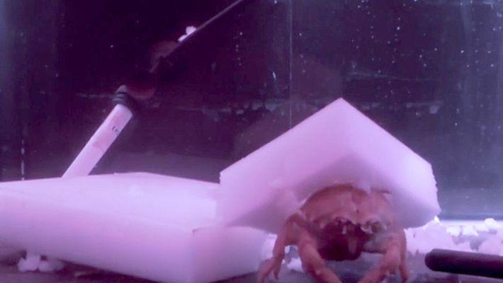 Ces crabes se taillent des chapeaux en éponge