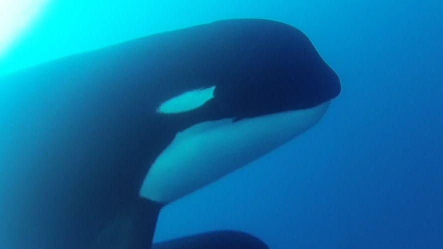 Vidéo exclusive d'une nouveau type d'orques