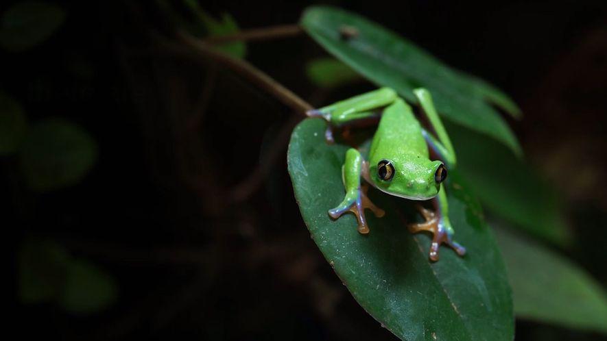 Les amphibiens font face à une extinction de masse due à la prolifération d'un champignon