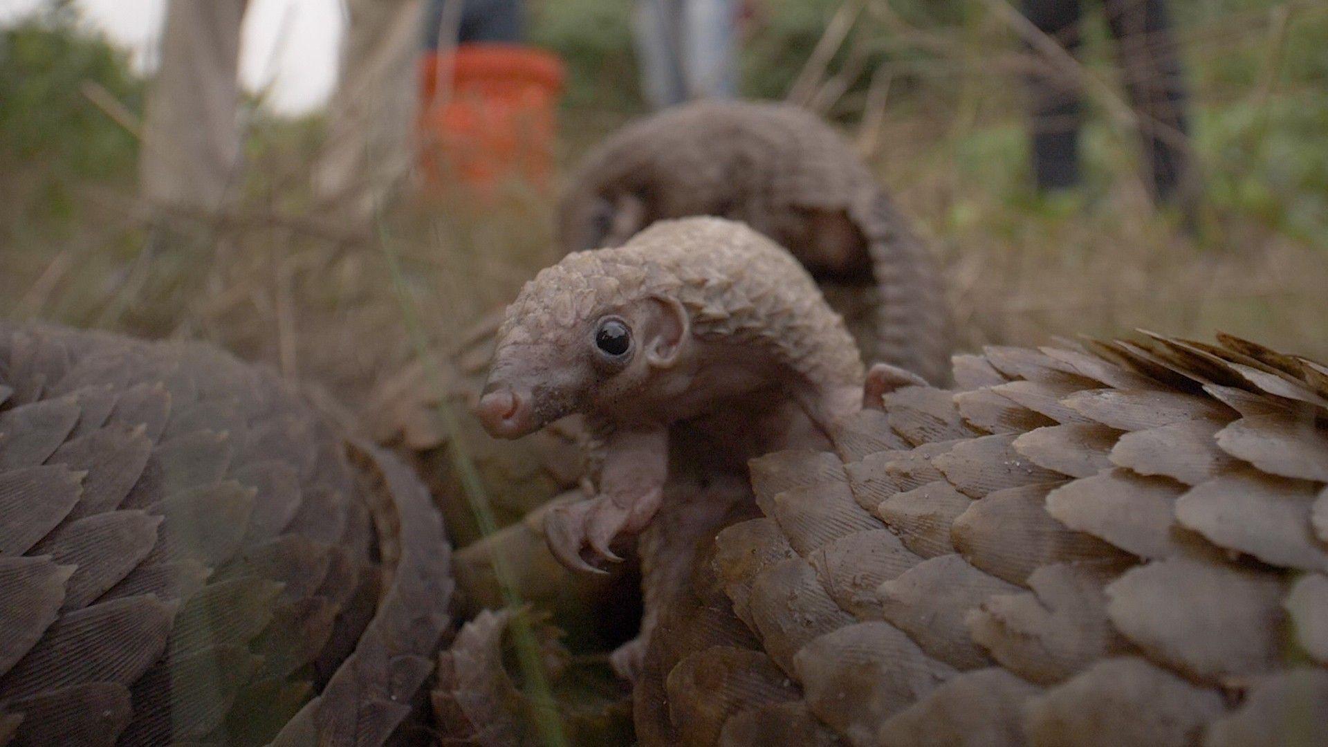 Reportage : le pangolin, mammifère le plus braconné au monde | National Geographic
