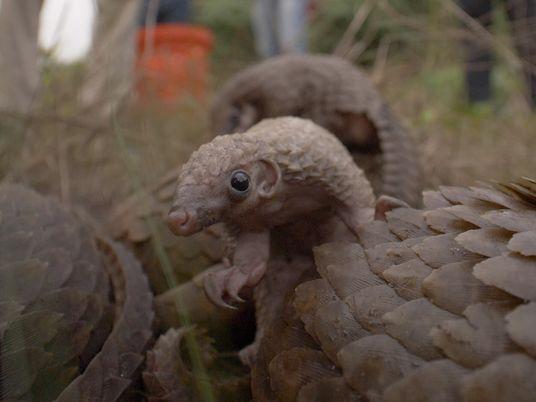 Reportage : le pangolin, mammifère le plus braconné au monde
