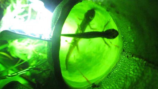 Ces plantes carnivores se nourissent de salamandres