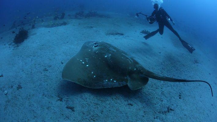 Première étude sur la plus grande raie marine connue