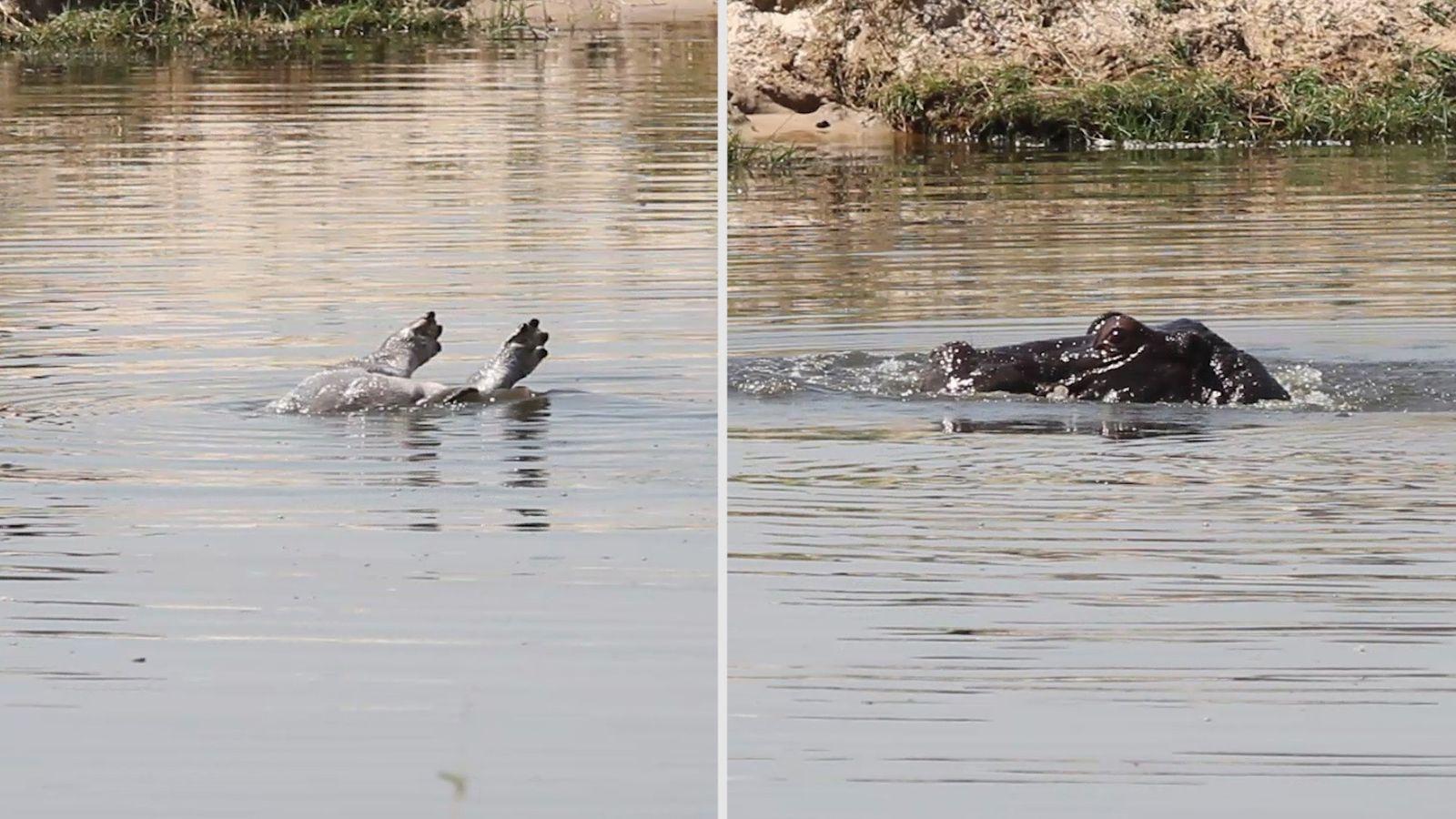 Botswana : une mère hippopotame refuse de quitter son petit décédé