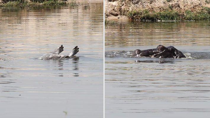 Première vidéo montrant le deuil chez les hippopotames