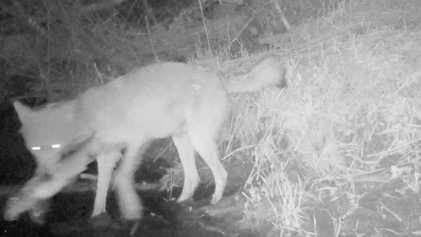Toute première vidéo montrant des loups pêcher et manger du poisson