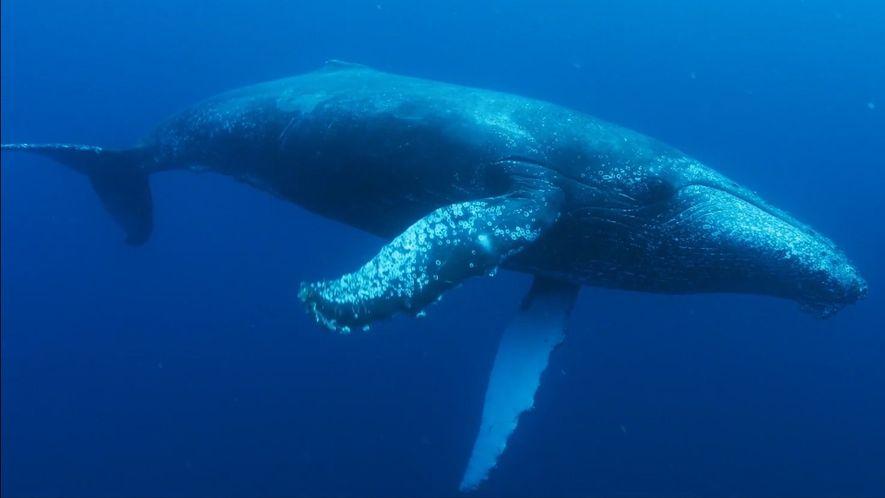 Afrique du Sud: la population de baleines à bosse est repartie à la hausse