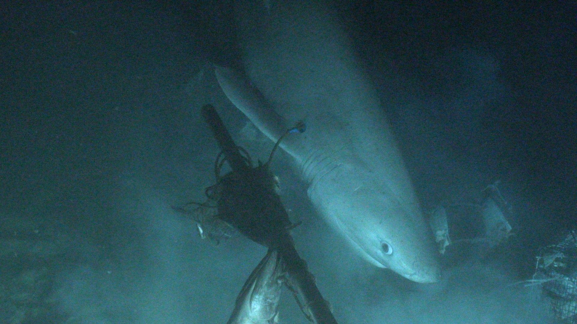 Pour la première fois dans l'histoire, un sous-marin a réussi à placer une balise sur un requin   National Geographic
