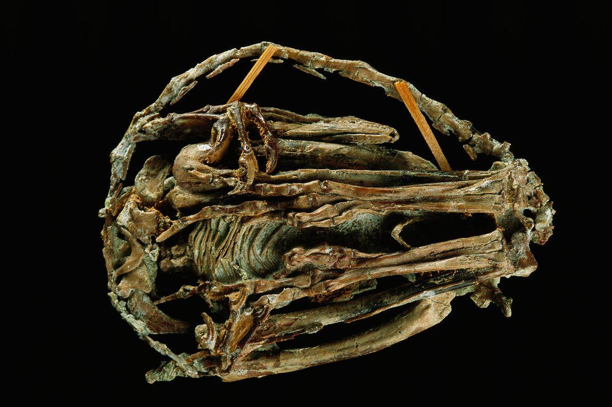 Le nom de cette espèce, Mei long, provient de l'expression chinoise « dragon endormi » qui ...