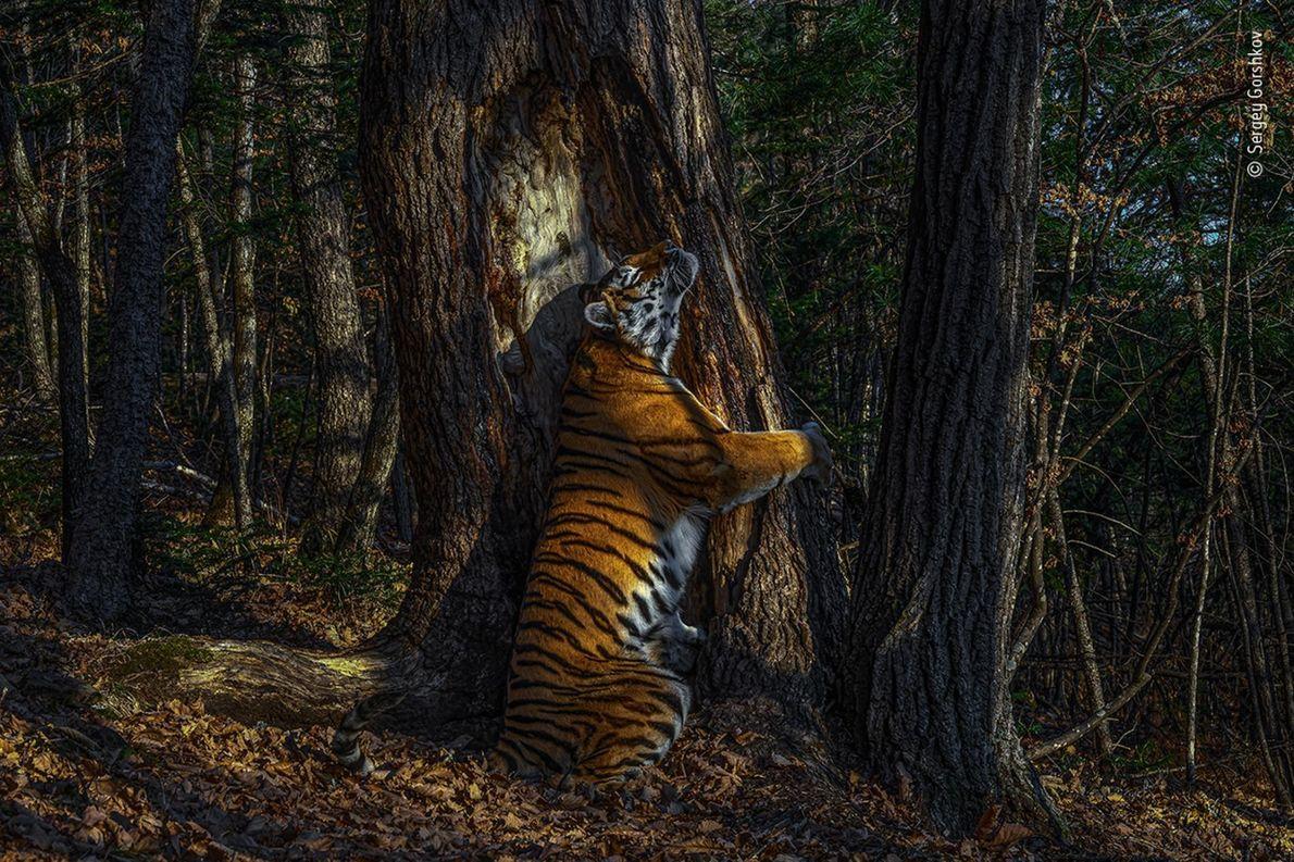 Cette photographie rare d'une tigresse de Sibérie étreignant un arbre dans l'Extrême-Orient russe a valu au ...