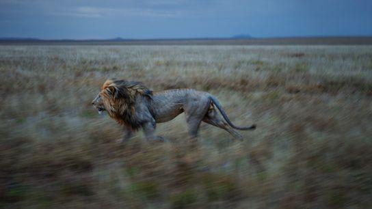 Photo d'un lion