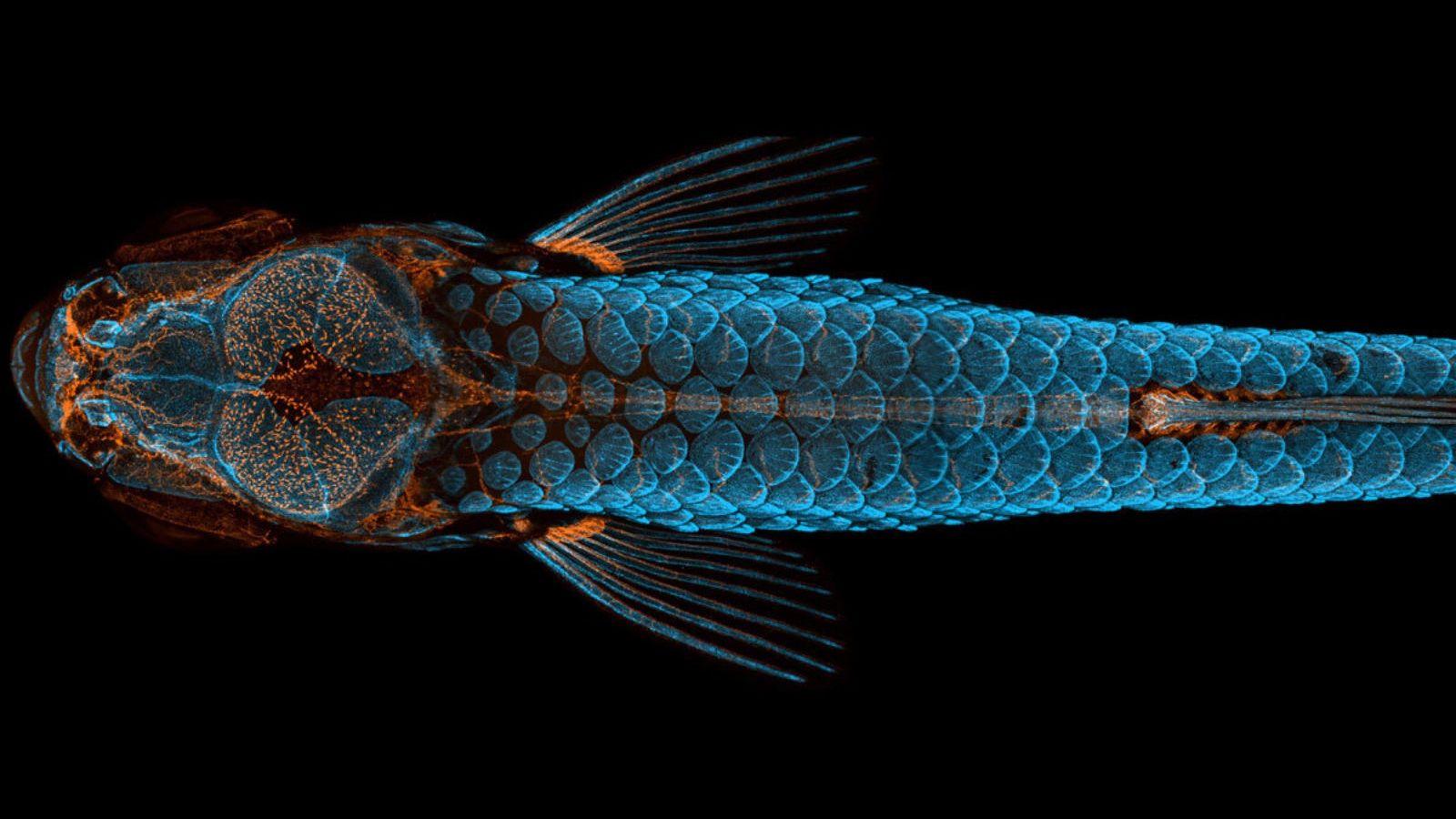 Cette vue dorsale d'un poisson-zèbre juvénile a gagné le premier prix du concours Nikon Small World ...