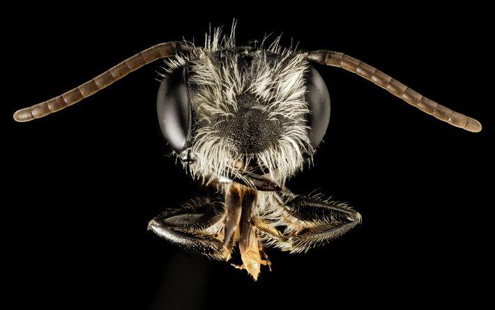 Cette abeille mâle de l'espèce Andrena perplexa a été aperçue dans le Maryland.