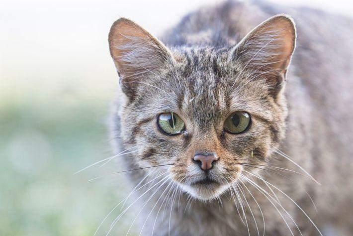 Le chat forestier (Felis silvestris silvestris) est une espèce de félidés sauvages autochtones de France métropolitaine.