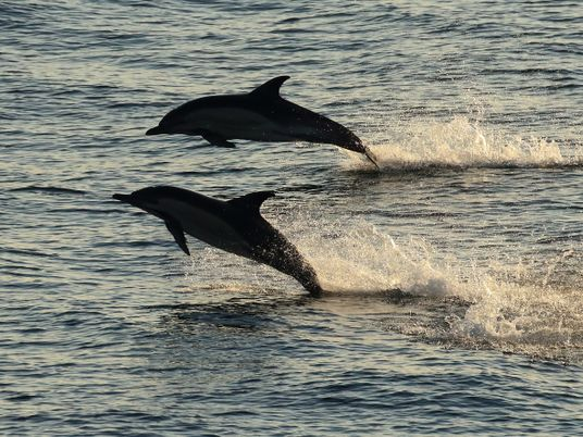 Quand les dauphins kidnappent les femelles avant de s'accoupler