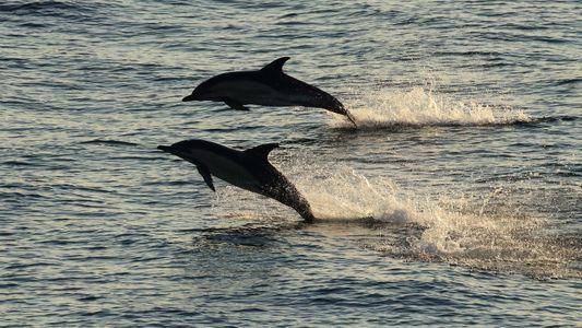 Comment les requins chassent-ils les dauphins, pourtant plus véloces ?