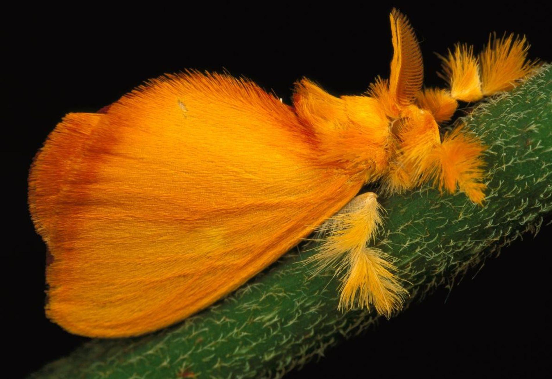 Acraga coa est surtout présent en Amérique centrale. Ces lépidoptères subissent une transformation spectaculaire, passant de ...