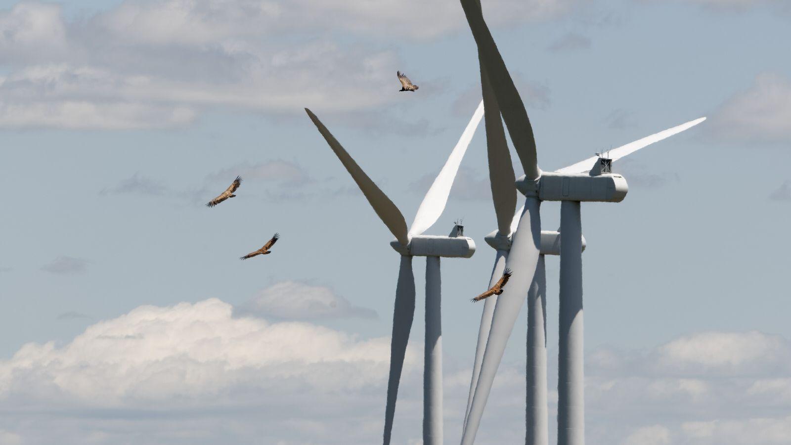Vautours fauves Gyps fulvus volant à proximité des éoliennes.
