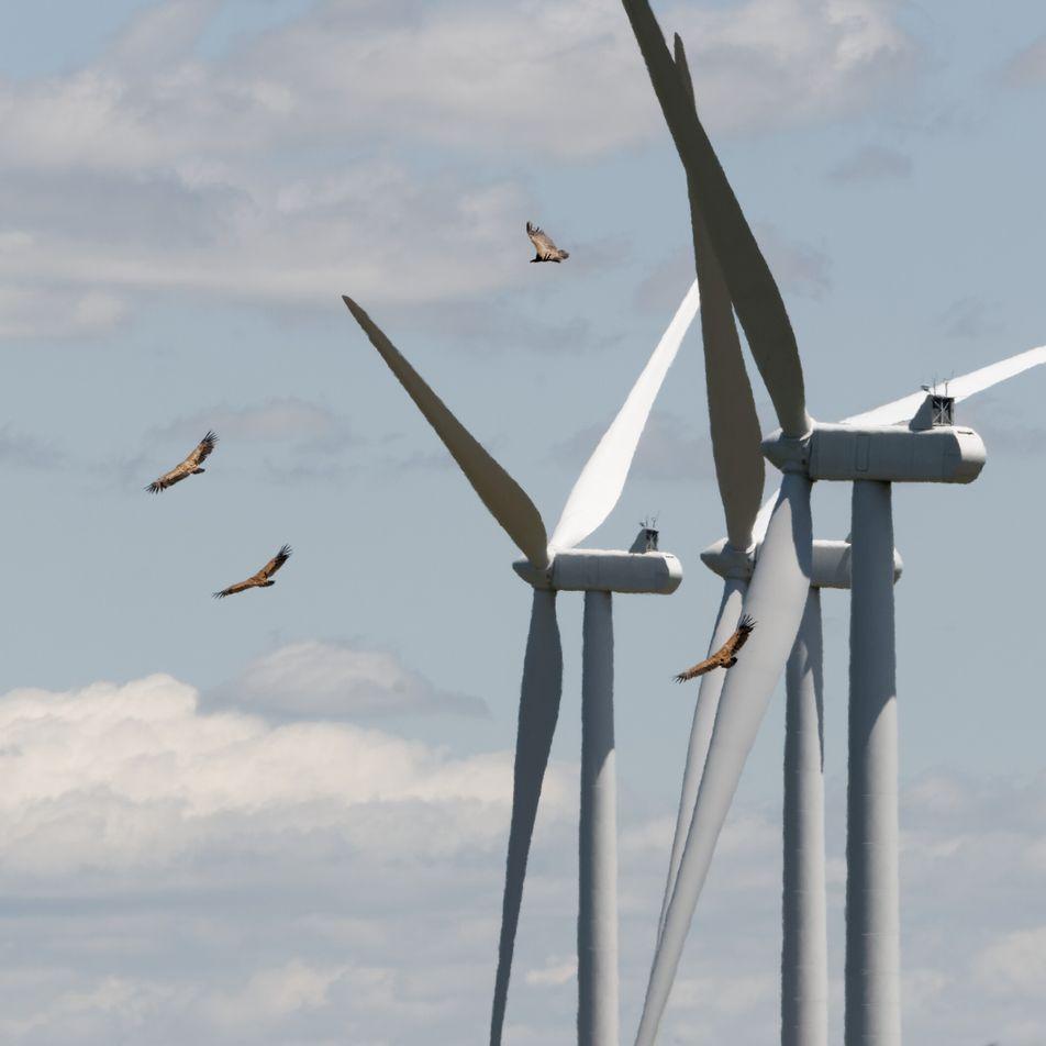 Comment mieux protéger les oiseaux des éoliennes ?