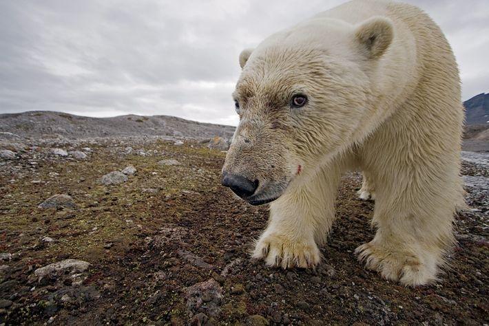 Un ours polaire examine avec attention un piège photographique à Svalbard, en Norvège.