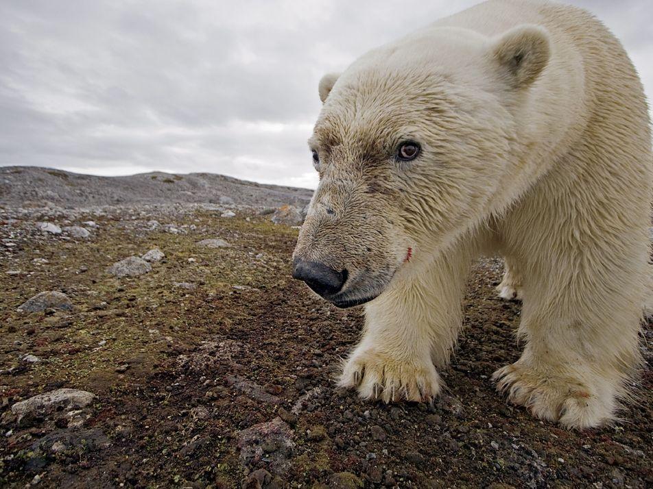 Le changement climatique est bien responsable de l'agonie des ours polaires