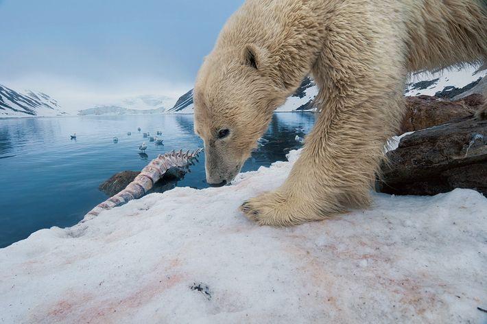 Un ours inspecte un squelette de baleine. Les mâles chassent les phoques annelés et barbus, et ...