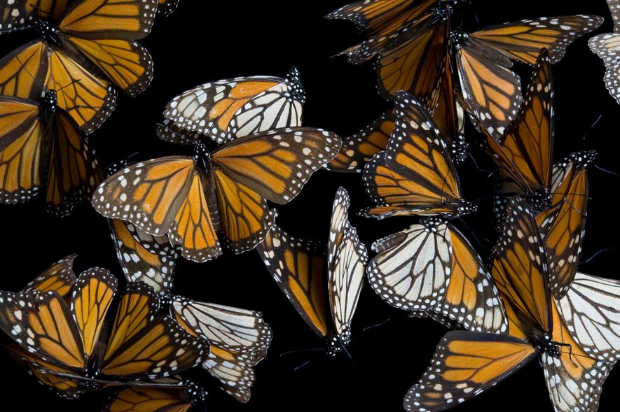 Les scientifiques ignorent les causes du déclin du nombre de papillons monarques.